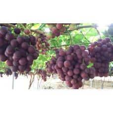 Moyca Red Grape Seedless